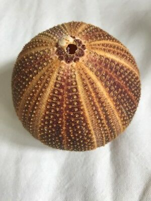 Large Sea Urchin Shell 9.5 Cm  diameter pre-owned