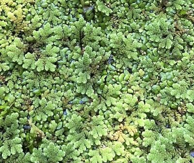 Azolla & Duckweed Mixed Packs - Great For Aquarium Pond