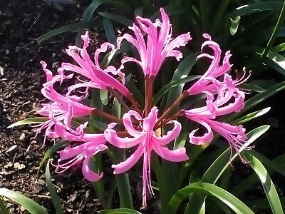 Nerine bulbs x 4 ― mixed size