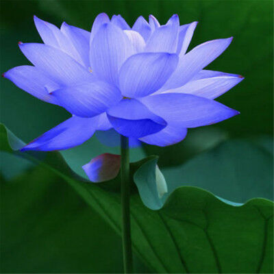 10 Seeds Blue Lotus Bowl Water Lily Nelumbo Nymphaea Sapphire Pond Flower Plant
