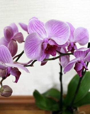 Hydroponic Orchid Seeds Indoor Flowers Bonsai Phalaenopsis Orchids 100PCS/bag