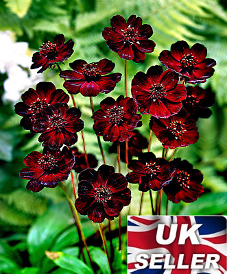 20 Seeds Rare Chocolate Cosmos Balcony Potted DIY Plant For Home Garden Easy