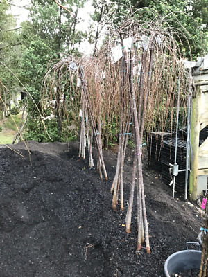 Weeping Cherry Tree - A grade - 2m tall - 4 varieties - BARE ROOTED SALE