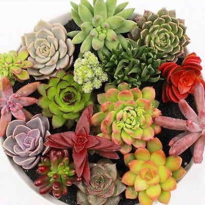 Succulent Seeds Mix Pack For Home Garden (200 Seeds/Pack)