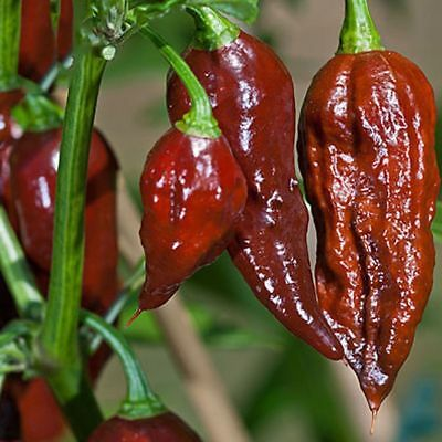 200 Seeds/Pack Chocolate Naga Jolokia Chilli Seeds Ghost Pepper Bhut Jolokia