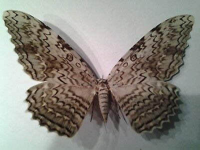 THYSANIA AGRIPPINA- Huge, Unmounted WHITE WITCH MOTH, A1-/A- Condition