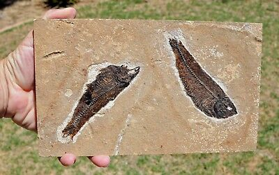 Fossil Fish Plate, two Knightia eocaena, Green River Formation,Wyoming, U.S.A.