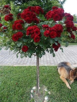 100 Red Rose tree Seeds DIY Home Garden Potted Balcony Yard Flower Plant