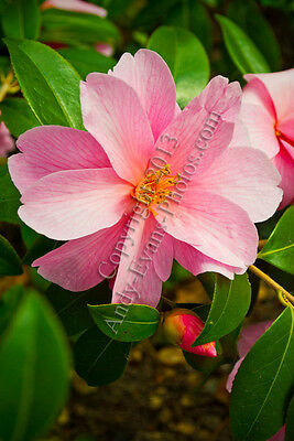 Pink Flower photograph picture poster art print photo by Andy Evans Photos
