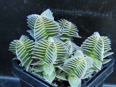 Crassula Capitella ssp Thyrsiflora in a 63mm pot Cacti Succulent Plant