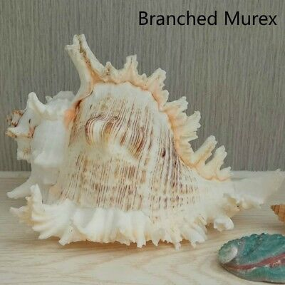Natural Large Conch Shell White Branched Murex Fish Tank Home Ornament Landscape