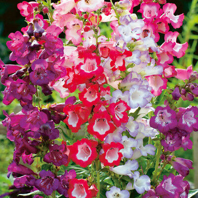 Penstemon - Sensation Mixed - 1100 Seeds