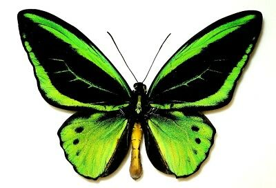 Ornithoptera Priamus Poseidon Male Form Radians. Bunaken Is. Very Rare!