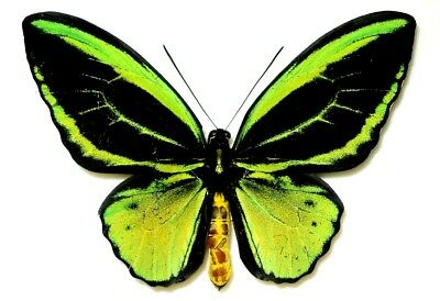 Ornithoptera Priamus Poseidon Male Form Radians. Kai Is. Very Rare!