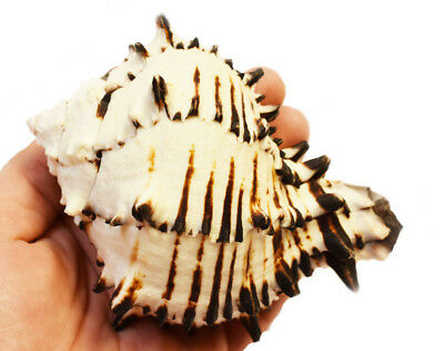 1Black Murex Shell Beach Cottage Hermit Crab Seashell beach craft air plant 3-4""