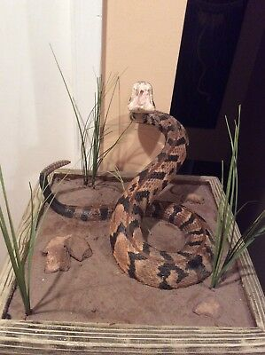 Timber rattlesnake taxidermy