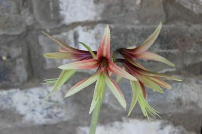 ' CYBISTER ' HIPPEASTRUM SEEDLINGS MIXED 2yr x4 Rare lily bulb