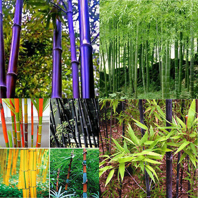 100X Mix Colors Phyllostachys Pubescens Moso-Bamboo Seeds Garden Plants Pleasing