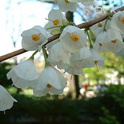 Carolina Silverbell - Halesia Carolina -10 seeds - Stunning Flowering Shrub/Tree