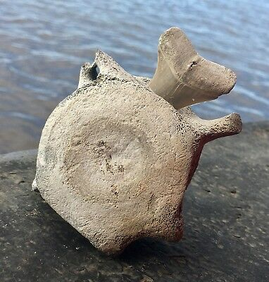 Aurora Fossil Dolphin Vertebra with Isurus hastalis shark tooth imbedded
