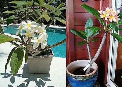 50PCS Plumeria Rubra MIX Flower Seeds Cheap Flower Seeds DIY White Flower Pot