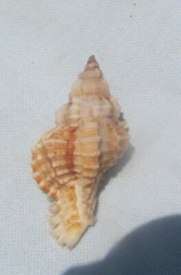 Chicoreus dilectus 48mm  Murex   Seashell