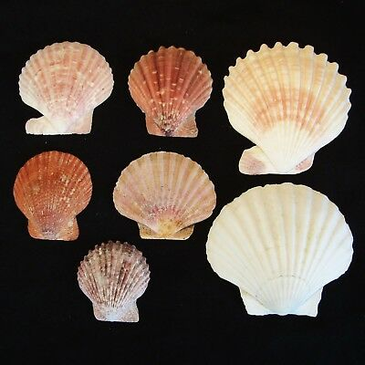 """7 Large Colourful SCALLOP """"FAN"""" SEA SHELLS from the Middle East"""