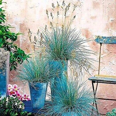 100PCS Blue Fescue Grass Festuca glauca Blue Flowers Ornamental Grass