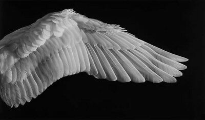ANGEL WING Original Charcoal on Canvas by Australian Artist Steve Olsen