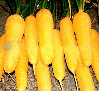 yellow carrot Vegetable seed 50seeds Daucus carota garden patio balcony Bonsai
