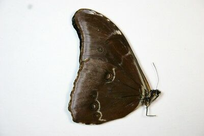 1 Morpho absoloni in A- condition