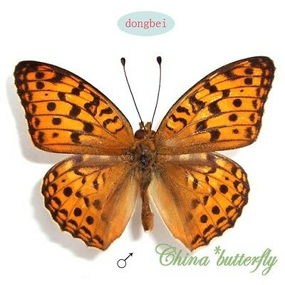 5 unmounted butterfly Nymphalidae argynnis coreana #12  A1  A1-