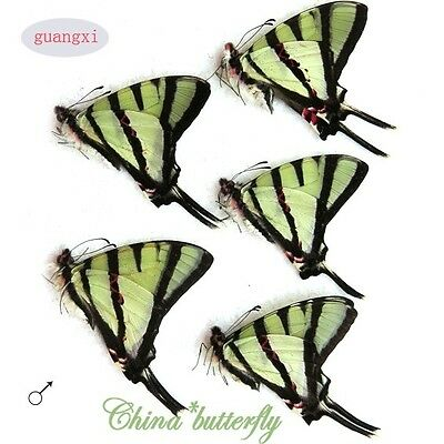 5 unmounted butterfly Papilionidae pathysa agetes GUANGXI SPRING FORM A1 A1-