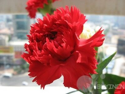 Carnation Flower  Seed 30 Seeds Patio Garden Plants balcony yard Bonsai