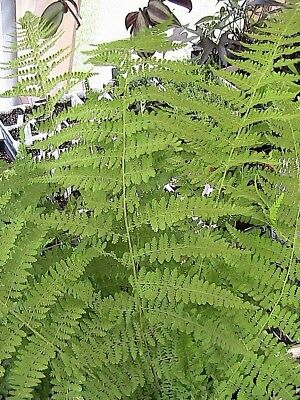 400 Hay Scented Fern Spores