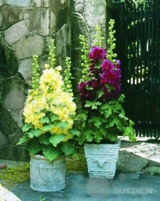 Perennial Flower Hollyhock seed 30 seeds Althaea rosea heigh herb Bonsai