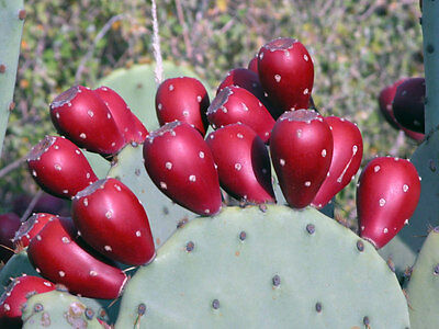 Winter-Resistant 2 Spineless Prickly Pear Cactus Hardy & EASY To GROW-Ships FREE