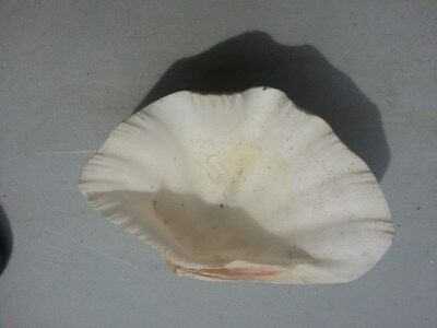 Giant Clam Shell #2