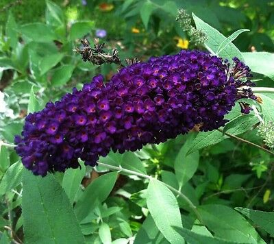 Black Knight Butterfly Bush ( Buddleia ) - Live Plant - Quart Pot