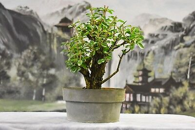 Sale Lovely Twin Trunk Escambron Pre Bonsai Tree That Produces White Flowers 35 00 Picclick
