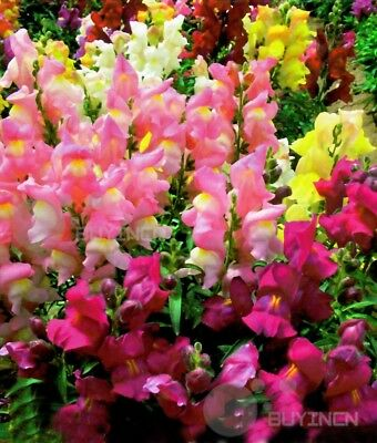 common snapdragon perennial Flower seed 100 seeds Antirrhinum majus