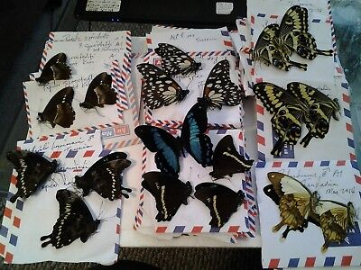 African Papilio  Assortment - Ten ( 10 ) A1 Unmounted Specimens