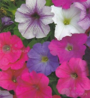 Petunia hybrida Flower seed100 seeds garden yard patio Perennial plants