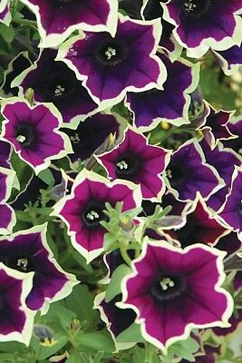 50PCS Hanging Petunia Purple Flower With White Edge Cheap Flower Seeds Home Pot