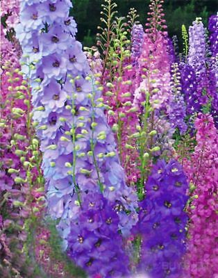 Rocket Consolida Flower seed 30seeds ajacis ambigua rocket larkspur Bonsai