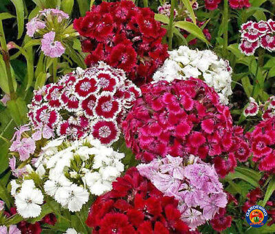 1000 Mixed Sweet William Pinks Dianthus Flower Seeds w/ Gift - COMB S/H