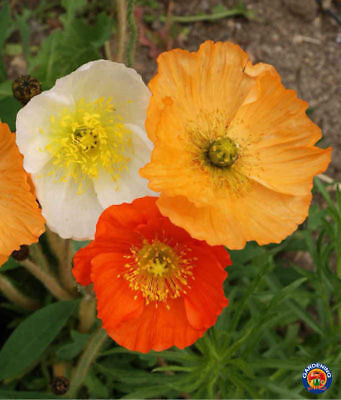 1000 ICELAND POPPY Flower Seeds Mixed Colors Papaver Nudicaule - COMB S/H