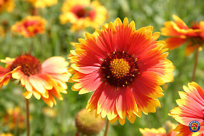 500 Gaillardia Aristata Perennial Native Blanket Flower Seeds Wildflowers