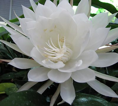 Epiphyllum Oxypetalum ( Queen Of The Night), One cutting.Very Rare