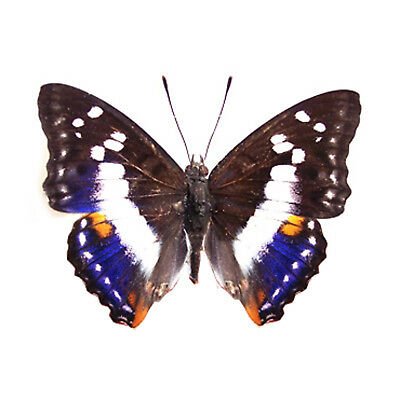 RARE unmounted butterfly nymphalidae Mimathyma ambica A1